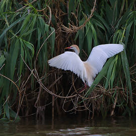 Roy Williams - Cattle Egret Landing On The South of the Island - DigitalArt