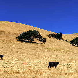 l o c - cattle grazing on california hillside