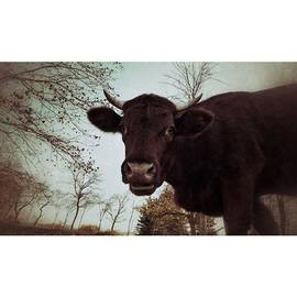 #cattle #kuh #rind #weide #herbst