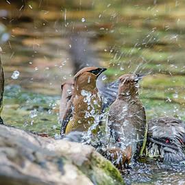Morris Finkelstein - Cedar Waxwing Bird Bath