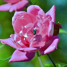 Eileen Brymer - Cemetery Rose