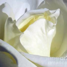 Cindy Treger - Center Of A White Rose