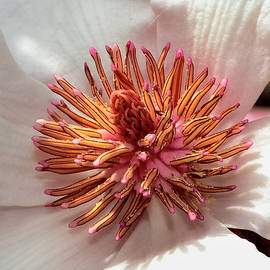George Bostian - Centerpiece - Saucer Magnolia - Magnolia x soulangiana 002