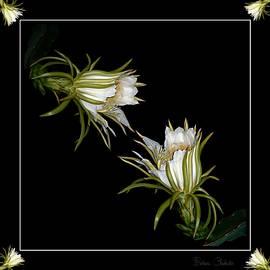Barbara Chichester - Cereus Display