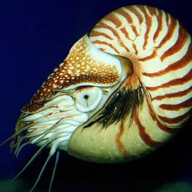 Chambered Nautilus at California's Birch Aquarium by Laurel Talabere