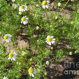 Chamomile Plants In The Garden 5