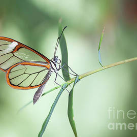 Charming Clear-wing Butterfly  by Ruth Jolly