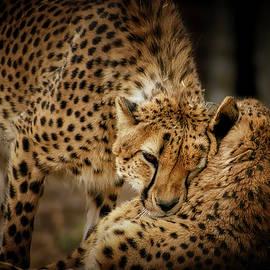 Ernie Echols - Cheetah Hugs