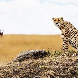 Cheetah in Africa Looking Into Camera - Susan Schmitz