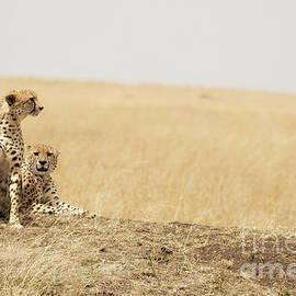 Cheetah pair in the Masai Mara - Jane Rix