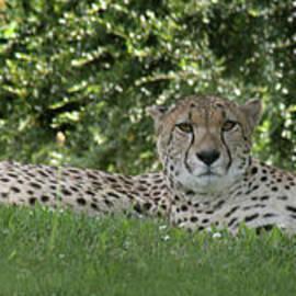 Cheetahs-6287 by Gary Gingrich Galleries