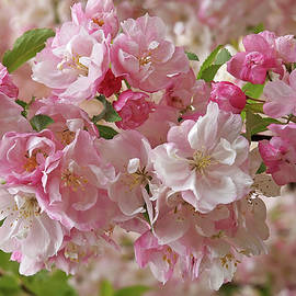 Cherry Blossom Closeup by Gill Billington