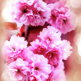 David Millenheft - Cherry Blossom