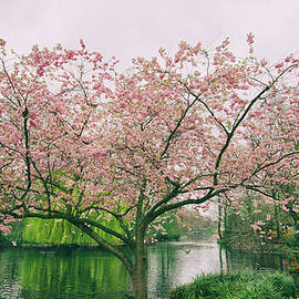 Martin Newman - Cherry Blossom