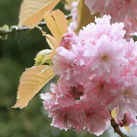 Cherry Blossom Secrets by Brandy Little
