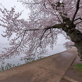 Cherry Blossom Tree In Fog by Michael Donahue
