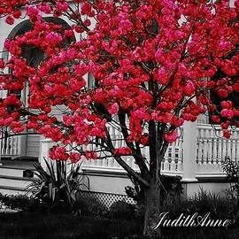 JudithAnne Monahan - Cherry Blossom Tree