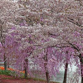 Allen Beatty - Cherry Blossom Trees of Branch Brook Park 24