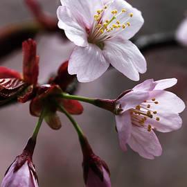 Debbie Oppermann - Cherry Blossoms