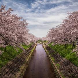 Cherry Blossoms In Nara by Rikk Flohr
