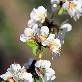 Sergey Lukashin - Cherry blossoms