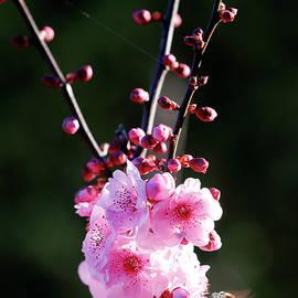 Cherry Green by Nicholas Blackwell