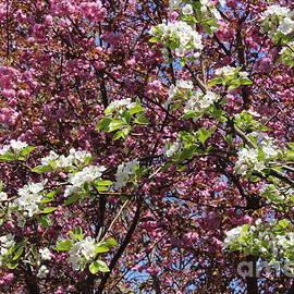 Dora Sofia Caputo Photographic Art and Design - Cherry Tree and Pear Blossoms