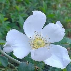 Cheyenne rose by Gayle Miller