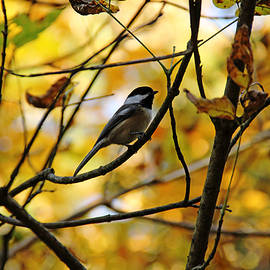 Debbie Oppermann - Chickadee In Autumn