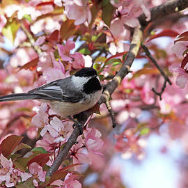 Chickadee In The Pink Blossoms by Debbie Oppermann