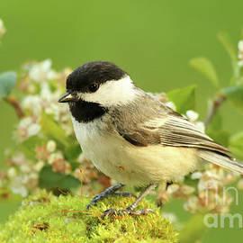 Max Allen - Chickadee Mossy Spring Perch