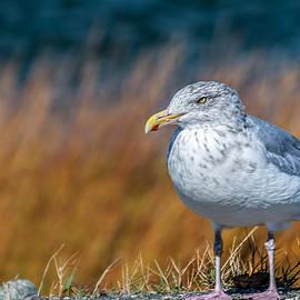 Laura Duhaime - Chilling Seagull