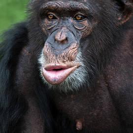 Marco Fischer - Chimp