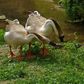 Chinese Swan Geese by Sara Raber