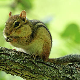 Chipmunk Cheeks by Debbie Oppermann