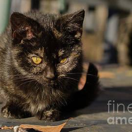 Melissa Fague - Chocolate The Stray Kitten