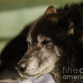 Melissa Fague - Chomp the Wolf Wildlife Photo