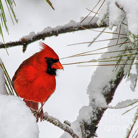 Christmas Cardinal by Barbara Bowen