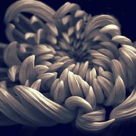 Chrysanthemum Curves by Jessica Jenney