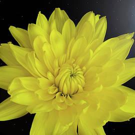 Terence Davis - Chrysanthemum Star