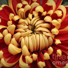 Dora Sofia Caputo Photographic Design and Fine Art - Chrysanthemum in Full Bloom