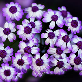 Cineraria in the Shade