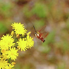 Debbie Oppermann - Clearwing Moth And Hawkweed