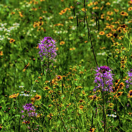 Cleome and Coreopsis by Alana Thrower