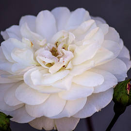 Climbing Rose 3 by Tania Read