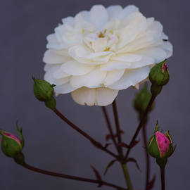 Climbing Rose by Tania Read
