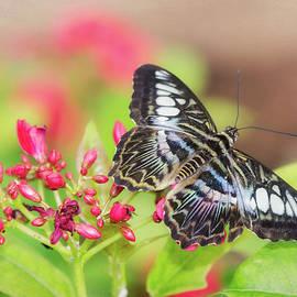 Saija Lehtonen - Clipper Butterfly Atop Pink Flowers