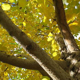 Close - Up In To A  Aspen Tree  by Paul - Phyllis Stuart