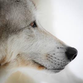 Athena Mckinzie - Close Up Of A Grey Wolf
