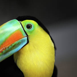 Close up of colorful toucan bird by Akos Horvath